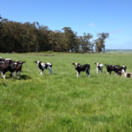 Happy, healthy calves in the sunshine