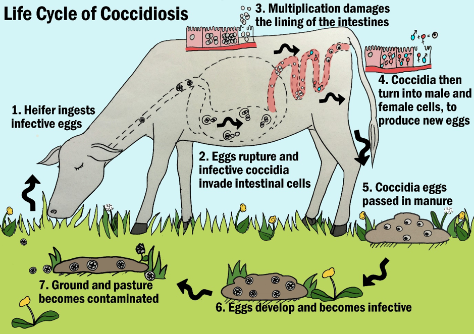 Life Cycle of Coccidiosis